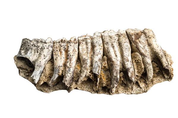 Fragment van de onderkaak van een paard
